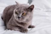 Fotografia Chiuda sulla vista del gatto di shorthair Bretagna grigio che riposa sulla base