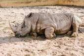Photo closeup view of white rhino laying on sand at zoo