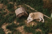 Fotografia vista elevata di leonessa che pone sullerba allo zoo