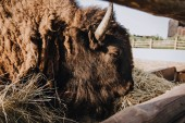 Photo closeup view of bison eating dry grass in corral at zoo