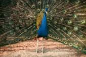 Detailní snímky Peacock ukazující peří v zoo