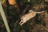 Photo elevated view of lioness laying on grass at zoo