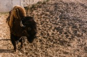 Photo closeup view of bison grazing on ground at zoo
