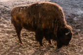 Photo side view of bison grazing on ground at zoo