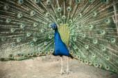 zblízka pohled Páv ukazující peří v zoo
