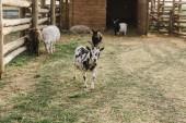 čelní pohled koz a ovcí pasoucích se na zem v ohradě s dřevěným plotem na farmě