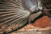 oldalnézetből a páva tollak mutatja az állatkert