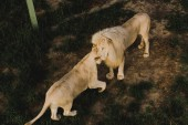 high angle view of lion and lioness rubbing heads at zoo