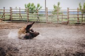 Photo front view of bison laying on ground in corral at zoo