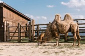 side view of two humped camel eating grass in corral at zoo