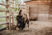 Photo close up view of bison grazing in corral at zoo