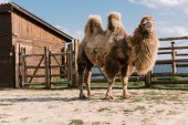 Photo close up shot of two humped camel standing in corral at zoo