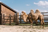 Photo side view of two humped camel standing in corral under sunlight at zoo
