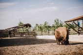 Photo front view of bison in corral at zoo