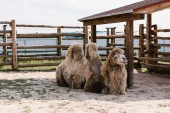 Photo front view of two humped camel sitting on ground in corral at zoo
