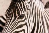 Photo close up shot of zebra muzzle on blurred background at zoo