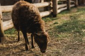 close up view of brown sheep eating grass in corral with wooden fence at farm