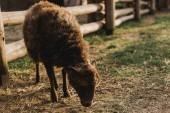 zblízka pohled hnědé ovce jíst trávu v ohradě s dřevěným plotem na farmě