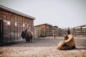 Fotografie čelní pohled dvou bizoni v ohradě v zoo