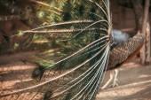 zblízka obraz Peacock krásné barevné peří