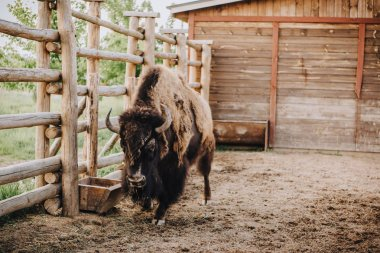 close up view of bison grazing in corral at zoo