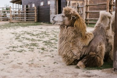 side view of two camel laying on ground in corral at zoo