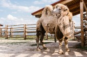close up view of two humped camel standing in corral at zoo