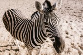 high angle view of zebra standing on ground at zoo
