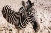 pohled z vysokého úhlu zebra stojící na zem v zoo