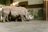Photo side view of endangered white rhino at zoo