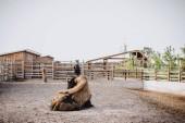 Fotografie čelní pohled bison položení na zem v ohradě v zoo