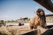 Fotografie zblízka pohled bison pastviny v ohradě s dvěma bizoni za v zoo