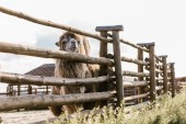 Photo front view of camel standing near wooden fence in corral at zoo