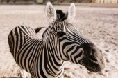 close up shot of zebra grazing on ground in corral at zoo