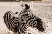 Detailní záběr záběr Zebra pasoucí se na zem v ohradě v zoo