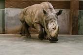Photo closeup view of endangered white rhino at zoo