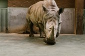 Photo front view of endangered white rhino at zoo