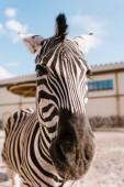 Fényképek zár megjelöl kilátás zebra Fang elmosódott háttér állatkertben