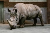 Photo close up shot of endangered white rhino standing at zoo