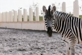 Photo close up shot of zebra grazing on ground in corral at zoo