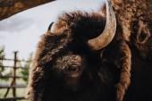 Fényképek zár megjelöl kilátás bison Fang a karámban az állatkert