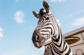 alacsony, szög, Kilátás zebra Fang ellen kék felhős ég, Zoo