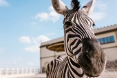 Photo close up view of zebra standing on blurred background at zoo