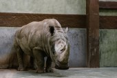 Photo front view of endangered white rhino standing at zoo