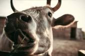 Fényképek tehén orr elmosódott háttér állatkertben lövés közelről