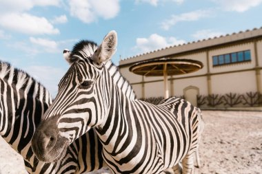 close up view of two zebras grazing in corral at zoo