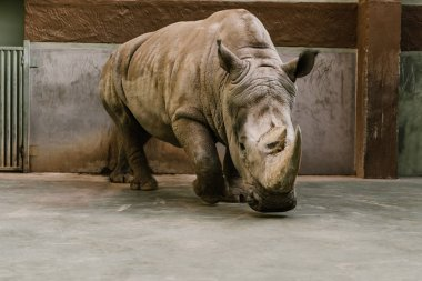 closeup view of endangered white rhino at zoo