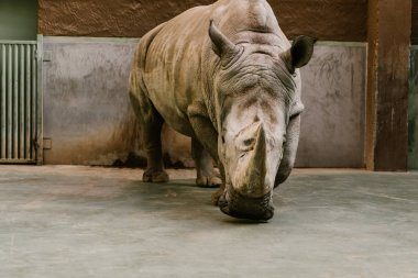 front view of endangered white rhino at zoo