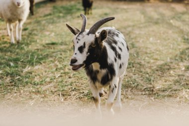 Close up view of goat grazing on ground in corral at farm stock vector