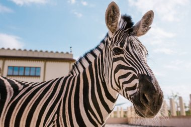 Close up view of zebra grazing in corral at zoo stock vector